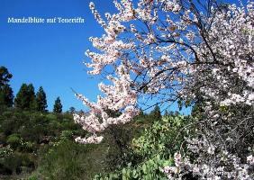 Mandel Blüten